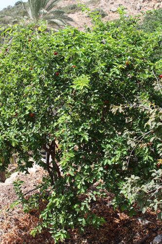 אסרולה, עץ אסרולה, acerola