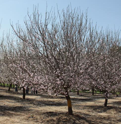 עץ שקדים, שקד, almond