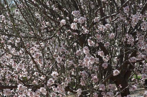 פריחה של עץ שקד, פריחה של שקדים, עץ שקד, almond
