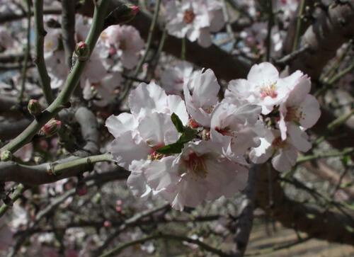 almond tree, עץ שקד פורח, פרח של שקד, פריחה של עץ שקדים