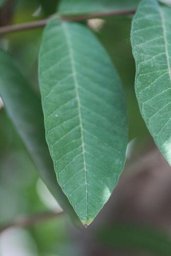 עלים של עץ אנונה, annona