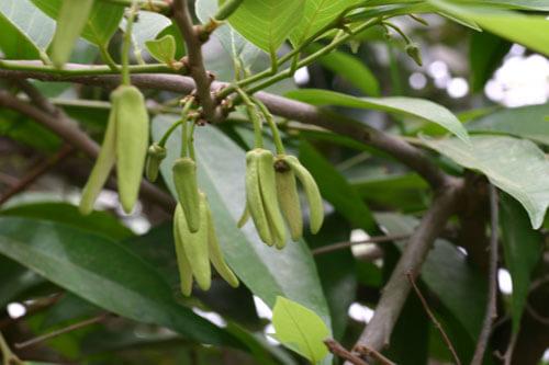 עץ אנונה, annona