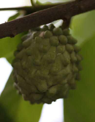 פרי אנונה, annona