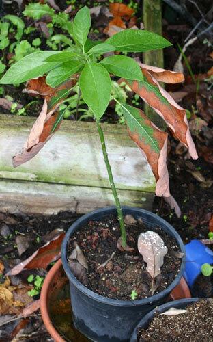 אבוקדו, שתיל של אבוקדו, avocado