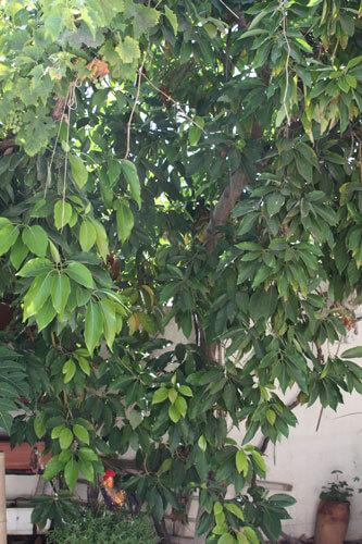 עץ אבוקדו בוגר, avocado, אבוקדו