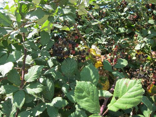 blackberry, אוסנה, פטל שחור, פטל