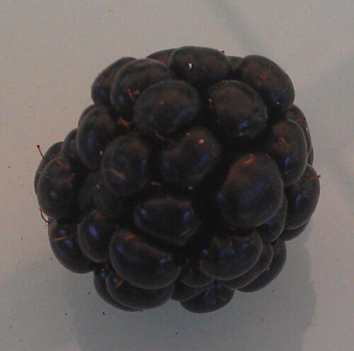 פטל, blackberry