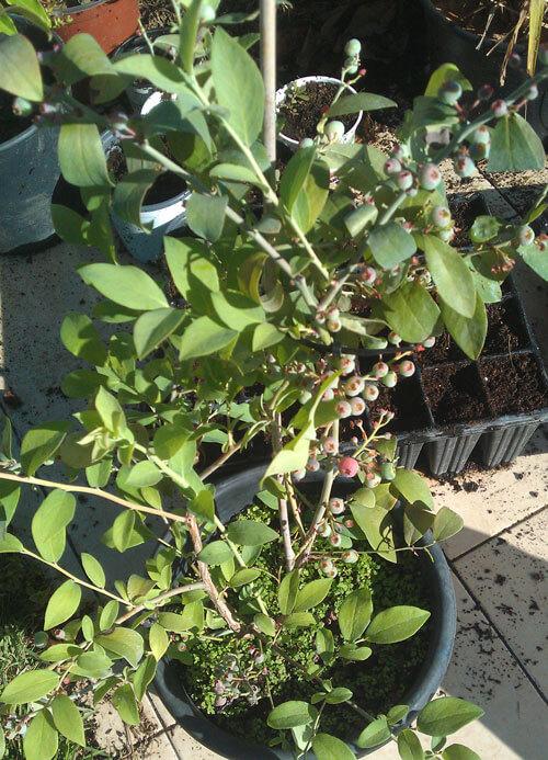 עץ אוכמניות, blueberry