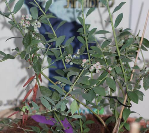 עץ אוכמניות, שיח אוכמניות, blueberry