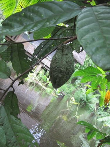 עץ קקאו, cacao tree