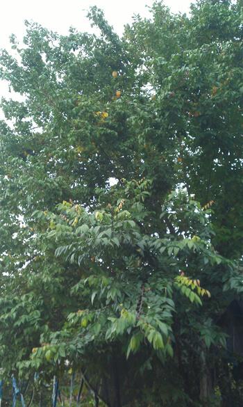 עץ קרמבולה, גידול קרמבולה, carambola