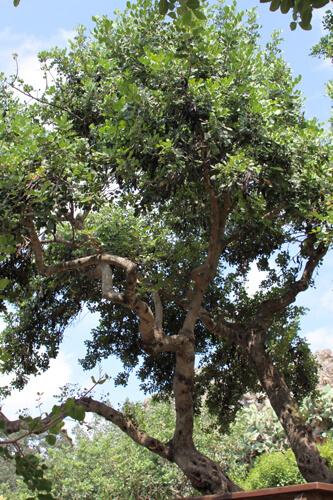 עץ חרוב, carob tree