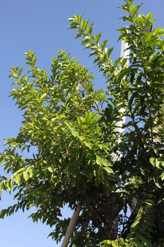 גויאבה קאס, עץ גויאבה
