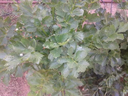 סלרי, גידול סלרי, celery
