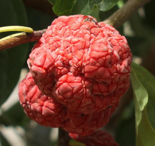 Che mulberry, צ'ה, פרי תות סיני