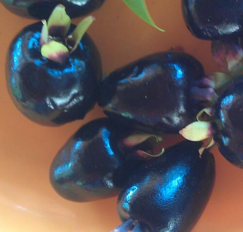 דובדבן ריו גרנדה, cherry rio grande