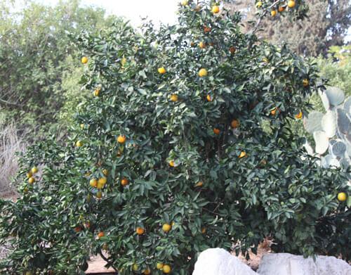 עץ הדר, עצי הדר, גידול עצי הדר, citrus
