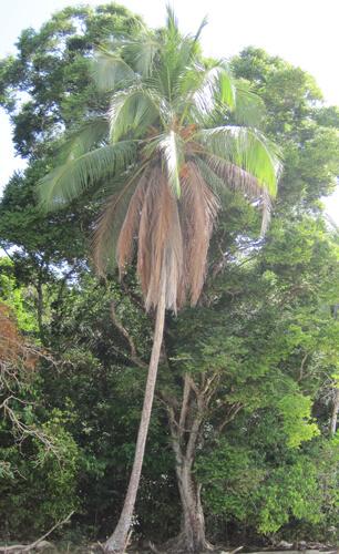 עץ קוקוס, דקל קוקוס, coconut-palm