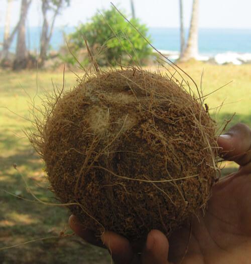 קוקוס, אגוז קוקוס, coconut