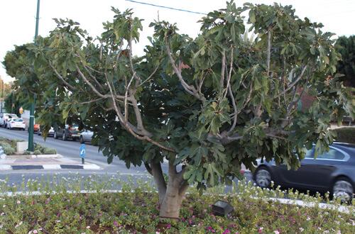 עץ תאנה
