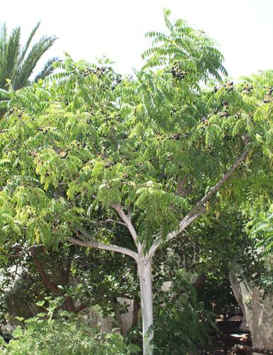 עץ קארי