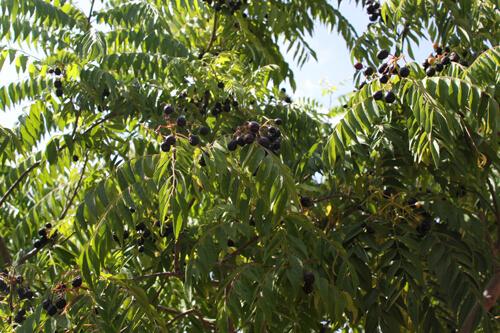 צמח קארי
