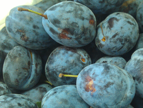 damson plum, שזיף שגיב, שזיף
