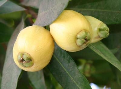 פירות תפוח ורד