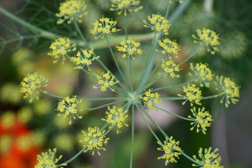 פריחה של שומר, שומר, בישבש, fennel