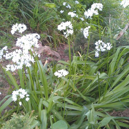 garlic chives, שומית, גידול שומית, שומית פרח