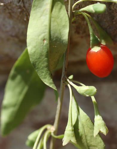 פרי גוג'י ברי, goji berry