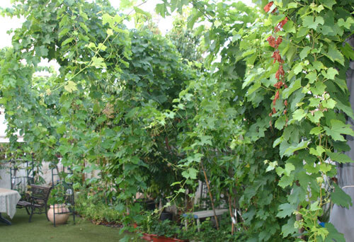 גפן, vine, grapevine