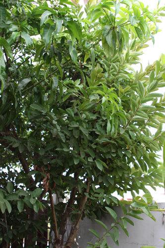 עץ גויאבה, guava tree