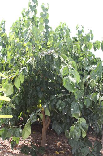 תות עץ מאורך