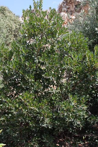 עץ קטלב משונן
