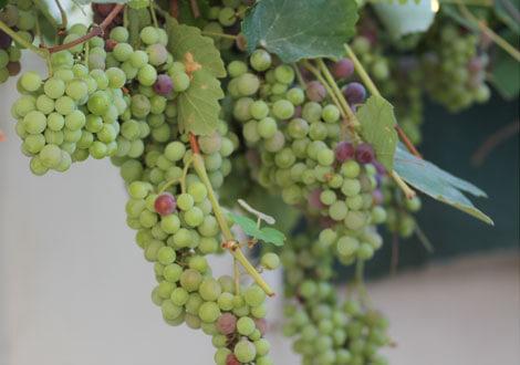 גפן איזבלה, isabella-grape