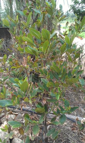 jackfruit, עץ ג'ק פרוט, גידול ג'קפרוט