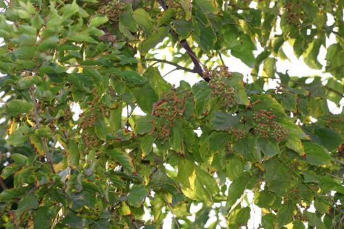 עץ צימוק יפני, עץ צימוקים יפניים,  japanese-raisin