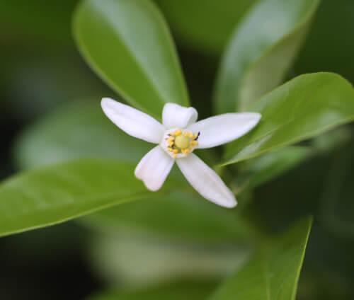 פרח קומקווט