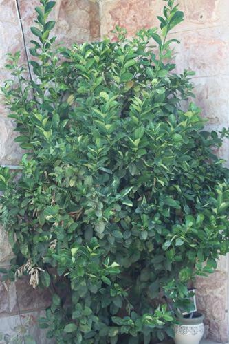 עץ תפוז סיני