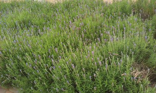 שיח לבנדר, לוונדר, lavender