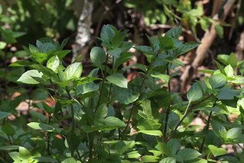 גידול בזיליקום, בזיליקום אמריקאי, בזיליקום לימוני, ריחן לימוני, lemon-basil