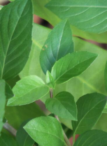 גידול ריחן לימוני, בזיליקום, בזיליקום אמריקאי, lemon-basil