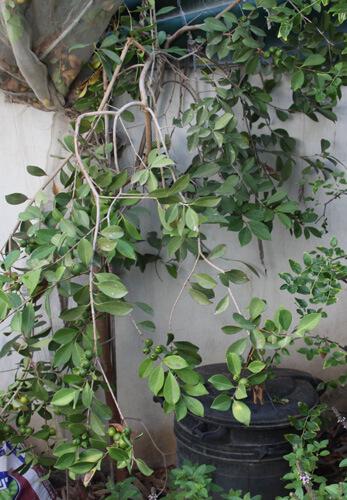 עץ גויאבה לימונית, lemon guava tree