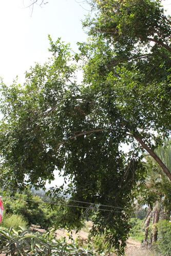 עץ לילי פילי