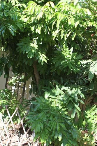 עץ לונגן
