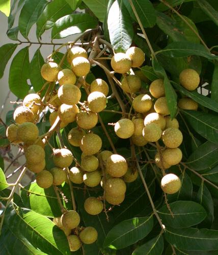 פירות לונגן