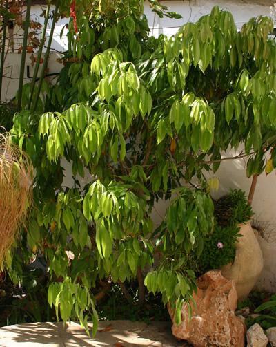 עץ ליצ'י