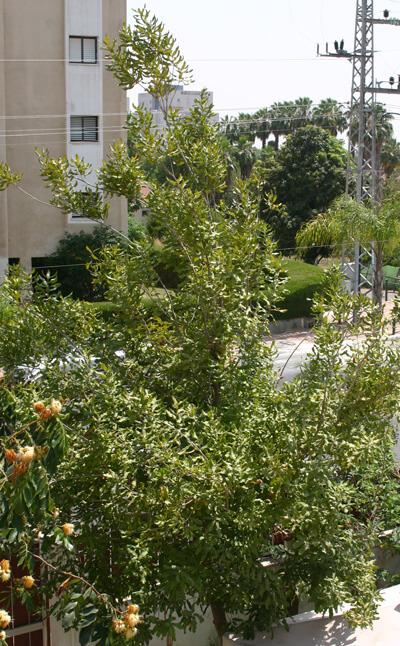 עץ מקדמיה, macadamia tree