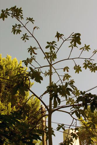 גידול אגוז מלבר, malabar-chestnut